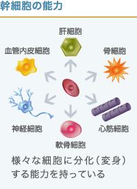 幹細胞の分化能